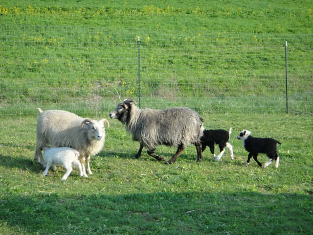 Bindi's turn!   Morning Star Meadows Farm