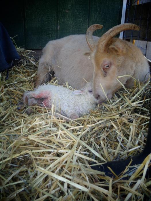 Fatima and ram lamb