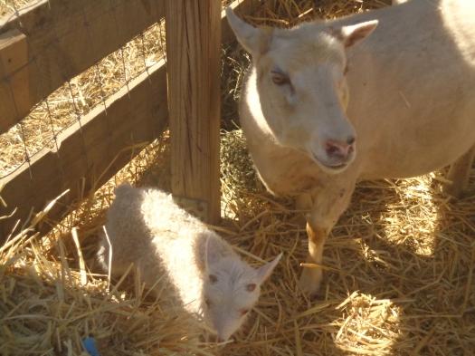 Daisy and ram