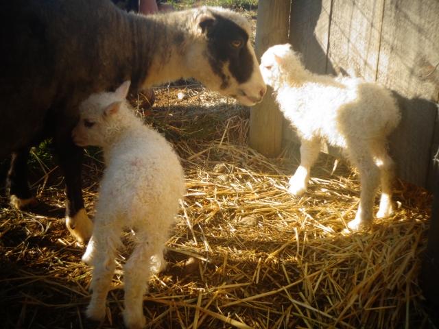 Twin ewes!