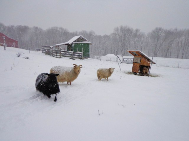 sheepinthesnow