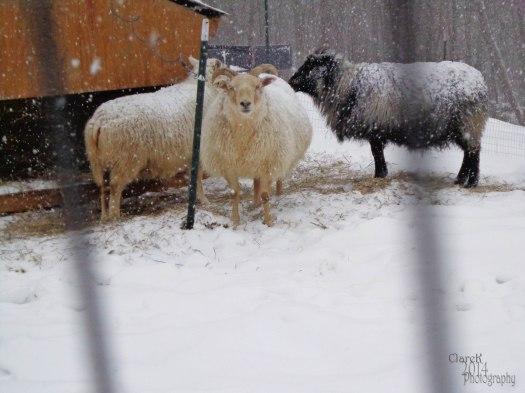 snowsheep